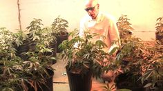 Medical marijuana is legal in many states in the US.  But how much marijuana and the kind of marijuana plants that Marijuana growing school1one can have in their possession at a given time varies from state to state.  In some of these states, it is possible for patients to grow their own marijuana at home.