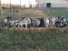 "All the baby goats are saying ""Hi"" this morning!  #babygoats #fun #pic #goats #babygoat #goat #babies #kids #funny #funtime #funday #funtimes #funnypictures #cute #cuteanimals #cutest #cuties #farm #farmlife #animals  #picture #picoftheday #pictureoftheday #saturday #awesome #cool #best #bestoftheday #morning"