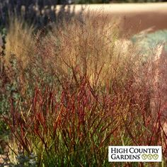 Shenandoah is a  selection of our native prairie switchgrass grown for its burgundy colored foliage and pinkish flower spikes.  This grass has especially nice fall color with the grass blades tinted with red and orange. Drought resistant/drought tolerant plant (xeric).