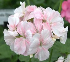 "PERFECT PELARGONIUMS: Zonal Pelargonium ""Dream"" - and surviving the heat..."