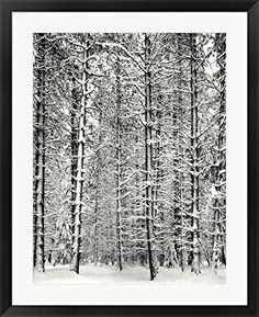 Pine Forest In The Snow Yosemite Nation By Ansel Adams Framed Art Print Wall Picture