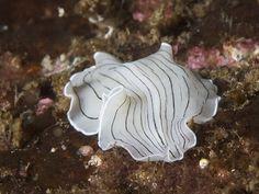 Flatworm - Candy striped flatworm (Prostheceraeus vittatus)