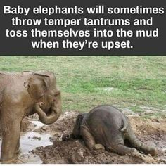Who knew baby elephants have temper tantrums too? Reminds me of when my son had his silent epic meltdowns and I documented them over in itshardbeingtwo.com. (thanks C.A. Vulliamy)