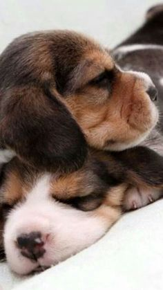 Two puppies beagle