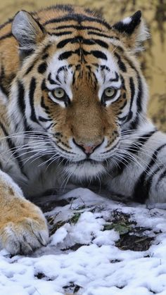tiger, snow, lie down, paw, eyes, predator
