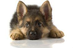 German Shepard puppy...