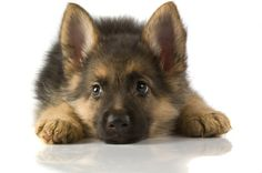 German Shepard puppy...