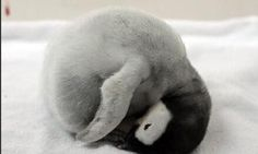 cute curled up baby penguin