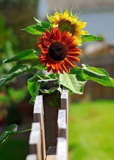 Sunflowers soakin' up the rays