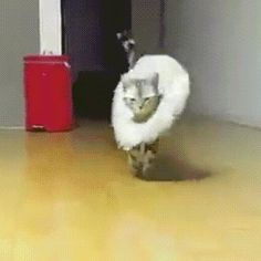 cat model runway fashion strut walk fabulous Tap the link for an awesome selection cat and kitten products for your feline companion!