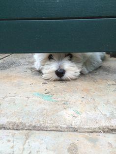 Schnauzer watchdog
