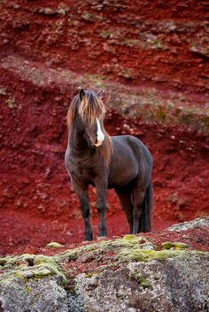 If you are up for an exiting adventure on your vacation, you should meet our Icelandic horses, when you travel here. A horse back ride could take you for an adrenalin race, but also for a nice and easy ride though the beautiful landscape. Either way, alone or with company, the Icelandic horse and the trained guides will take good care of you, making sure that you are safe, while having fun. This strong horse is photographed at the stunning Raudholar, Iceland.