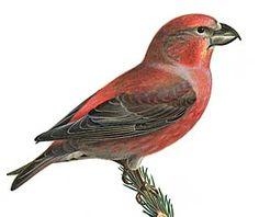 Korsnäbb Större korsnäbb, Loxia pytyopsittacus - Fåglar - NatureGate