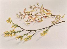 #Spring #blossom Weekend #Watercolour by Bev Bush.