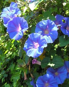 "My own ""Heavenly Blue"" morning glories! A fence full of these thrills me to the bone."