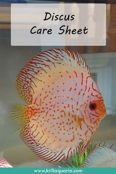 Interested in keeping discus? Check out our article to learn about their general behavior, needs and appearance. Discus Tank, Discus Aquarium, Tropical Fish Aquarium, Discus Fish, Aquarium Fish Tank, Betta Fish, Fish Tanks, Fish Aquariums, Aquarium Ideas