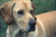 My street dog Nice, welcome in germany pic by boad[art #dog #hybriddog #americangointer  Mein Süßer-Türkischer-Strassen-Hund 'Nice' #dog #Goldenretrievermix #englishpointermix #americangointer #hybriddog