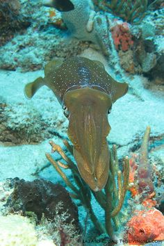 ✯ Female caribbean reef squid ~by TheLivingSea.com ✯