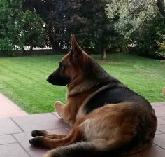 German Shepherds Are Extremely Loyal Dogs