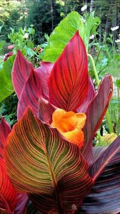Shade Garden Flowers And Decor Ideas Tropical Canna Lily Has Bold And Bright Striped Leaves And An Orange Flower In This Garden Image Captured In New Hampshire, New England. Tropical Flowers, Exotic Flowers, Orange Flowers, Tropical Plants, Beautiful Flowers, Tropical Gardens, Canna Lily, Canna Flower, Florida Landscaping