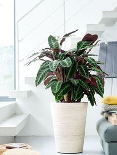 Calathea ist die Zimmerpflanze des Monats September 2014 - Pflanzenfreude.de