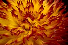 On fire  Thank you everyone for re-pinning this photo - it was taken in Canby, Oregon at a Dahlia farm.  Glad you are enjoying the picture!