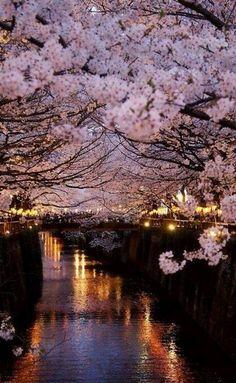 Paris cherry blossom trees
