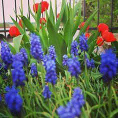 Eine farbstarke Kombination für den Garten - rote Tulpen und blaue Traubenhyazinthen (Muscari)