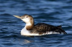 """Yellow-billed Loon.  Jan 19, 1998 :::: *Oswego Harbor, Oswego, NY.  200-500yds  out, off Fort Ontario in calm water.  Kowa scope. Bill ivory/cream w/ """"smilely""""  look.  Large overall size, chestnut-brown crown, dirty gray-brown back, bright white breast & neck, much white on face. Photo, Birds Korea - Bird News March 2009"""
