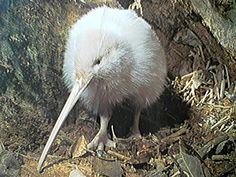Isn't this a Kiwi?  It didn't say. But he is cute.