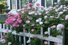 Roses and peonies always look lovely cascading over a white picket fence