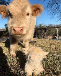 Kincaid and little Kincaid Cute Baby Cow, Baby Cows, Cute Cows, Baby Elephants, Fluffy Cows, Fluffy Animals, Animals And Pets, Wild Animals, Mini Cows