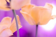 Tulips - Experimenting with light and some Tulips. Hope you like the result!