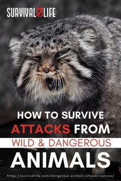 It's always unpredictable when you're in the wilderness. Make sure you are ready if dangerous animals attack you. Continue reading below on how to survive wild animal attacks! #animalattacks #survival #preparedness #survivallife Survival Life, Wilderness Survival, Survival Skills, Wild Animals Attack, Animal Attack, Bear Attack, Dangerous Animals, Mountain Lion, Types Of Animals