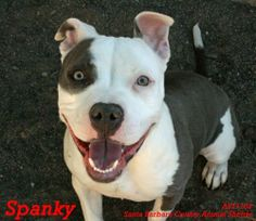 Santa Barbara County Animal Services Santa Maria, CA. Meet SPANKY <3 a Petfinder adoptable Pit Bull Terrier Dog | Santa Maria, CA | Spanky is a young pup who has lots of energy & love to give! She knows how to sit & is working on stay. Spanky likes to play w/ toys & knows how to fetch & bring them back! If you are looking for a curious pup who plays great w/ other dogs, Spanky is your gal!