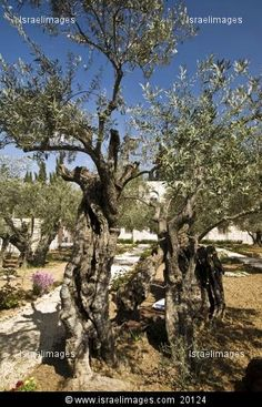 Olive Trees At The Garden Of Gethsemane, Next To The Church Of All Nations On Mount Of Olives In Jerusalem