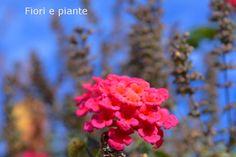 Lantana... come una perla rosa un fiore nel cielo blu di dicembre, in Calabria