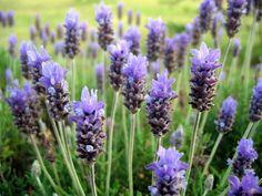 No debéis perder la oportunidad de llenar vuestro huerto o jardín, con aromáticas, especialmente la aromática, hoy la conocemos y os enseño como plantarla , aparte de los cuidados que tiene!