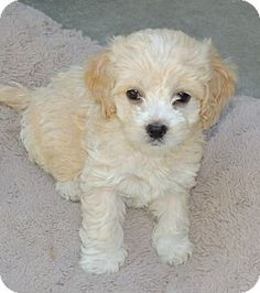 """This cutie is from a litter of boys and girls that will be ready for their forever homes in about 9 weeks.  Email them at Contact this Rescue Group at cuddlycanines@aol.com  Let 'em know you saw """"Litter of Cockapoo Puppies"""" on Adopt-a-Pet.com!   Website: http://www.CuddlyCanines.com  La Habra Heights, CA - Cockapoo/Cocker Spaniel Mix. Meet Litter of Cockapoo Puppies a Puppy for Adoption."""