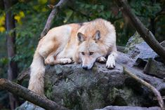 eastern timber wolf | A picture from a eastern timber wolf | Cloudtail the Snow Leopard | Flickr