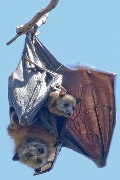 Parenthood by Sam Lynch - grey headed flying fox