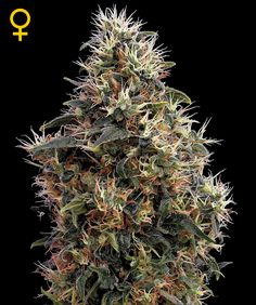 Bud of the day Today we show u the Sweet Mango... Hmm...  beautiful buds #cannabis #maryjane #marijuana