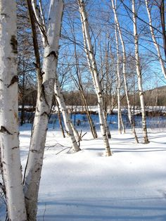 birch trees in winter Sweet Trees, Winter Trees, Watercolour Tutorials, Birch Trees, Bobs, Appreciation, Landscaping, Mad, Christ