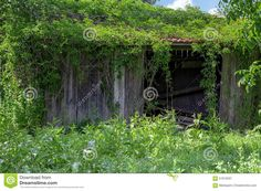 old-wooden-outbuilding-shed-overgrown-ivy-red-roof-57910297.jpg (1300×958)