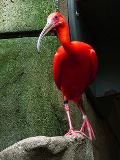 Scarlet Ibis | Flickr - Photo Sharing!