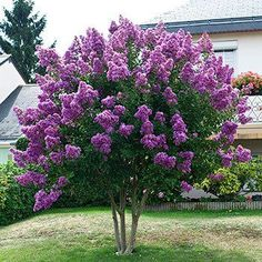 Crape Myrtle サルスベリ 百日紅(Huge, Vibrant Color for Months! Garden Trees, Lawn And Garden, Trees To Plant, Garden Plants, Myrtle Tree, Fast Growing Trees, Small Trees, Perennials, Raised Garden Beds