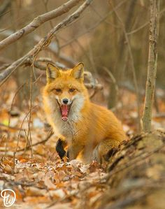 Red Fox in Perryville, MD. Walter Dorsett Photography.