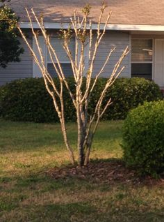 Day 84. (T) Crepe Myrtles are starting to sprout leaves and it looks like the lichen is on the way out!