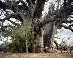 Sagole baobab. Rachel Sussman travels the world to photograph the world's oldest living things – organisms that have lived on Earth for over 2,000 years.