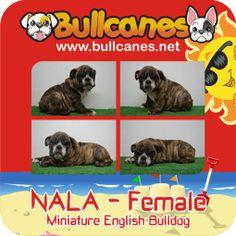 Bulldog Puppies For Sale, French Bulldog Puppies, Miniature English Bulldog, Miniatures, Facebook, Dogs, Youtube, Animals, Instagram